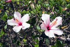 Hibiscus Στοκ Φωτογραφία