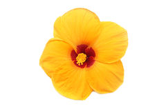 Hibiscus. Yellow Hibiscus on white background Stock Photo