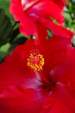 Hibiscus 4 Royalty Free Stock Photography