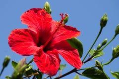 hibiscus Stock Foto's