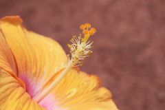 hibiscus Стоковые Изображения RF