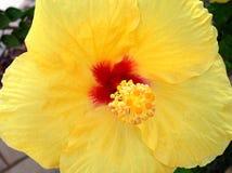 hibiscus Stockbild