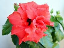 hibiscus Lizenzfreies Stockfoto