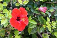 hibiscus Stockfotos