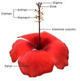 hibiscus vektor abbildung
