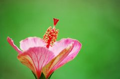 Hibiscus. A red hibiscus on green background Stock Photos