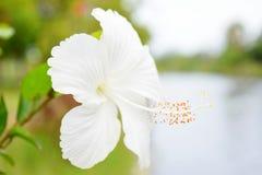hibiscus Lizenzfreie Stockbilder