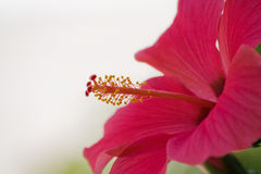 Hibiscus. Another photo of this beautiful flower, the hibiscus, also said rosemallow royalty free stock image