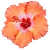 hibiscus Lizenzfreie Stockfotos