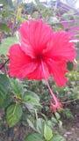 hibiscus Stock Fotografie