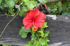 hibiscus Stockfotos