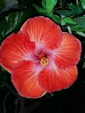 hibiscus Imagem de Stock