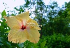 hibiscus Fotografia de Stock Royalty Free