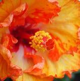 hibiscus Стоковые Изображения