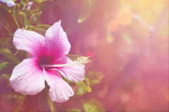 hibiscus Foto de Stock Royalty Free