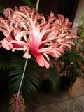 hibiscus Imagens de Stock