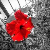 hibiscus Royalty-vrije Stock Foto