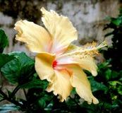 hibiscus Stockfoto