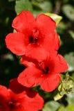 Hibiscus. Red hibiscus Stock Image