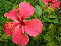 Hibiscus. Close-up of pink hybiscus in the rain Royalty Free Stock Photography