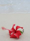 Hibiscus. Flower on the beach stock image