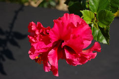 Hibiscus. A hibiscus flower royalty free stock photos