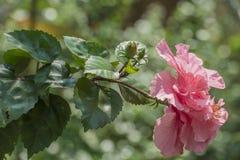 hibiscus Στοκ Φωτογραφίες