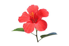 Hibiscus Stockfotografie