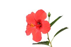 Hibiscus. Flower isolated on white background Stock Photography