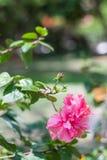 hibiscus Στοκ φωτογραφία με δικαίωμα ελεύθερης χρήσης