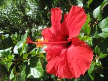 Hibiscus. On Vacation in Westmoreland, Jamaica, I was able to get the full details of this tropical flower Stock Photography