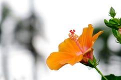 hibiscus Στοκ εικόνα με δικαίωμα ελεύθερης χρήσης