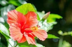 hibiscus Στοκ εικόνες με δικαίωμα ελεύθερης χρήσης