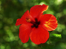 Hibiscus. Flower photo taken in nature Stock Images
