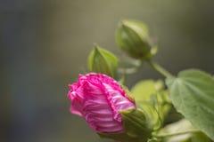 4 hibiscus Стоковое Изображение