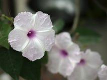 hibiscus Стоковое фото RF