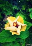 hibiscus Royalty-vrije Stock Afbeeldingen