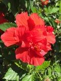 hibiscus Στοκ φωτογραφίες με δικαίωμα ελεύθερης χρήσης