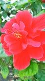 hibiscus Imagens de Stock Royalty Free