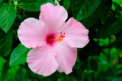 Free Hibiscus Royalty Free Stock Photo - 8754095