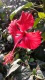 hibiscus Fotos de Stock