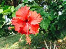 hibiscus Fotos de Stock Royalty Free