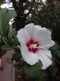 hibiscus Foto de Stock