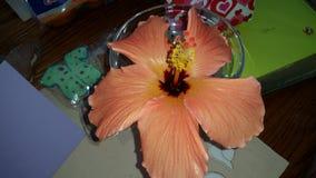 hibiscus Stock Afbeelding