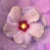 HIBISCUS. Abstract hibiscus. Paintings of flowers. Pink and purple flowers Royalty Free Stock Images