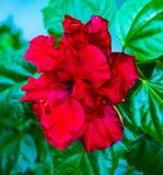 hibiscus Abstrakte vektorabbildung Rote Hibiscusblume Eine Niederlassung von a Lizenzfreies Stockfoto