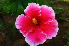 Hibiscus in Africa stock photography