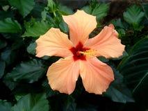 Hibiscus alaranjado 2 Imagens de Stock Royalty Free