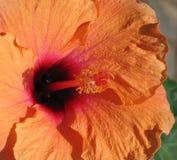 Hibiscus alaranjado imagem de stock