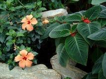 Hibiscus alaranjado 3 fotografia de stock royalty free